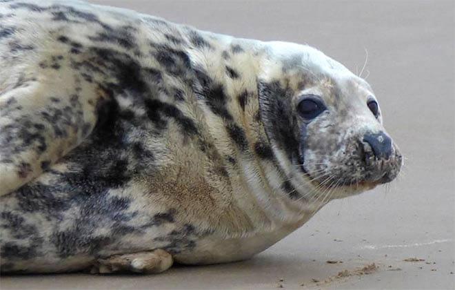 safari seal