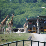 Giraffes at Port Lympne Reserve