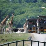 Giraffes at Port Lympne Reserve